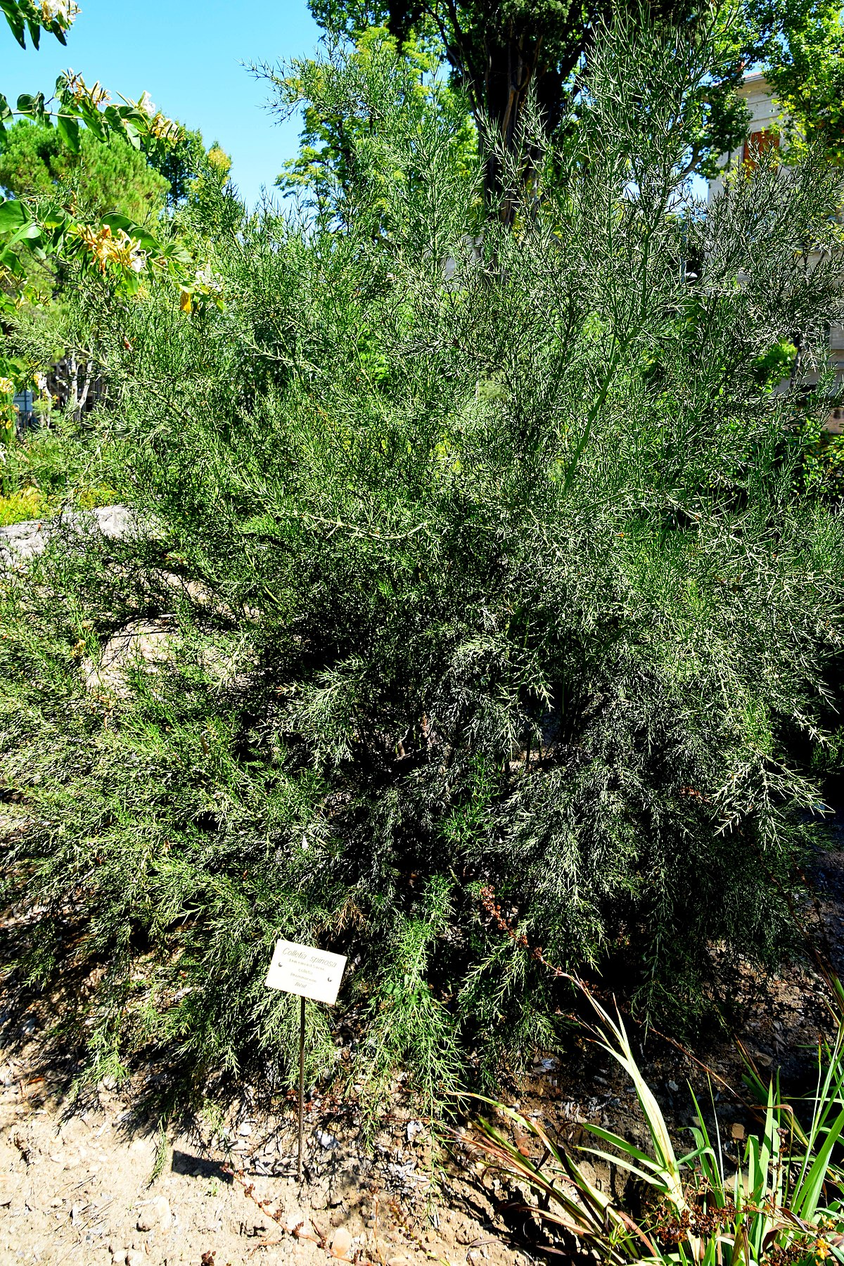 1200px Colletia spinosissima in Jardin des plantes de Montpellier 01