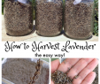 Nettoyage Jardin Luxe How to Harvest Lavender the Easy Way