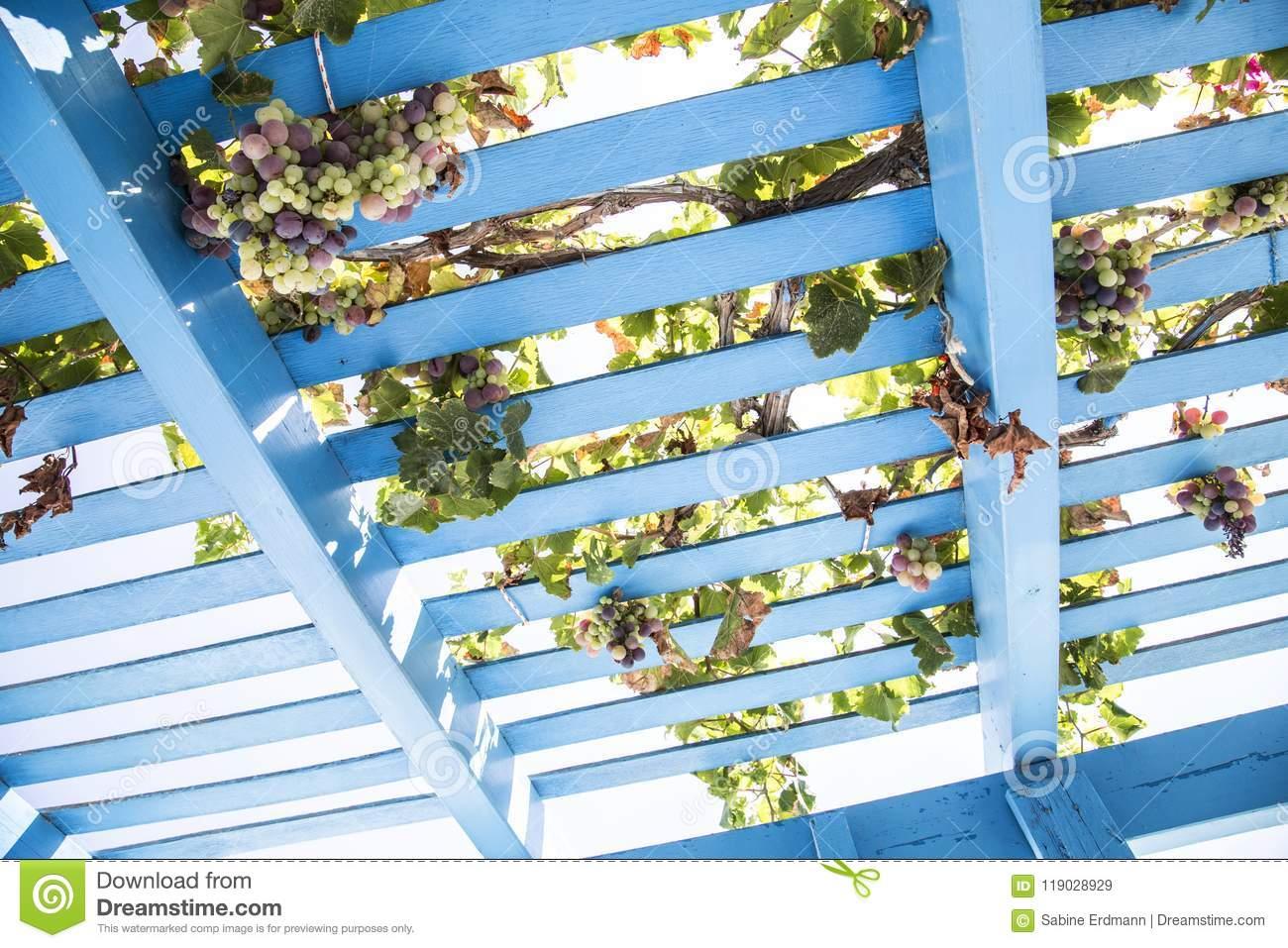 looking up blue painted wooden pergola lattice vines grapes blue painted wooden pergola lattice vines grapes