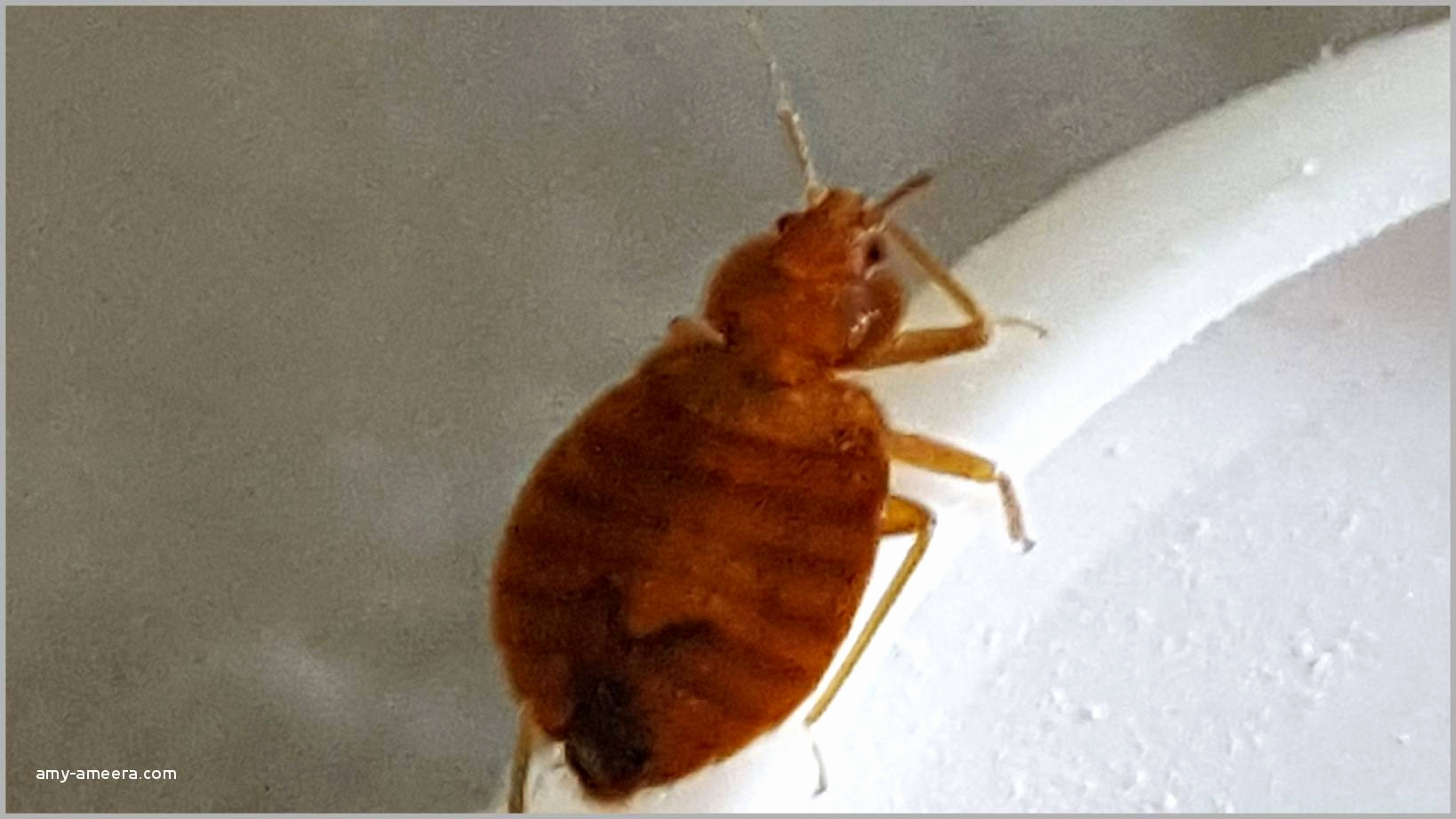 puce de matelas luxe insecte du lit insecte de lit roi matelas unique matelas massage 0d of puce de matelas