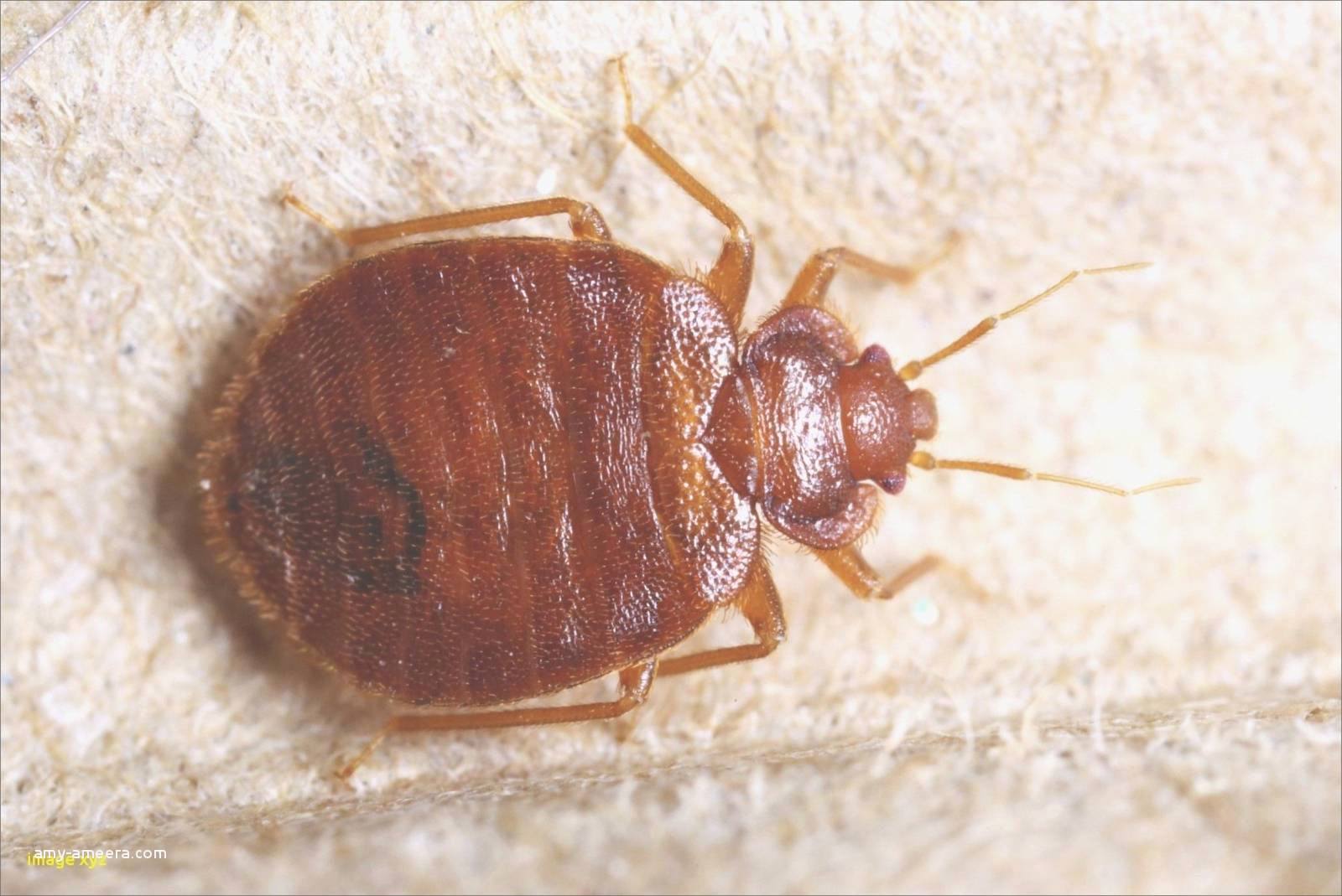 puce de matelas unique insecte du lit insecte de lit roi matelas unique matelas massage 0d of puce de matelas 1