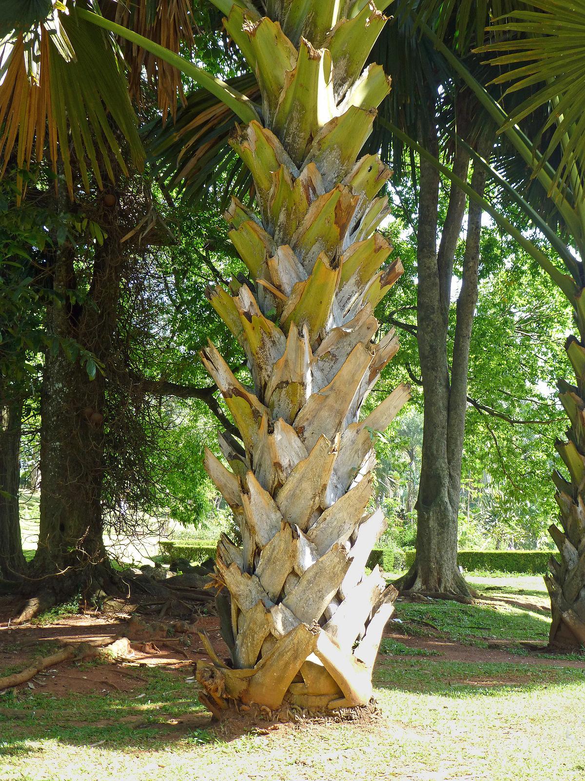 1200px Corypha umbraculifera Jardin botanique de Kandy 2