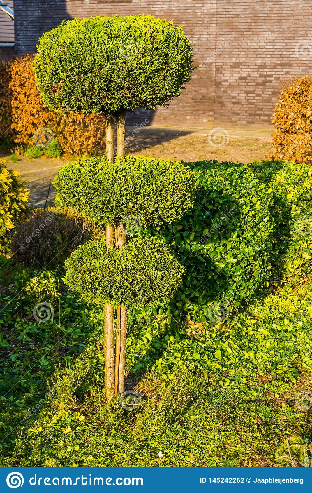 arbre taillé conifère en cercles ronds jardin fraîchement coupé entretien d arrière cour image