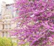 Jardin Du Louvre Best Of La Floraison Des Arbres De Criquets Au Printemps Dans Les