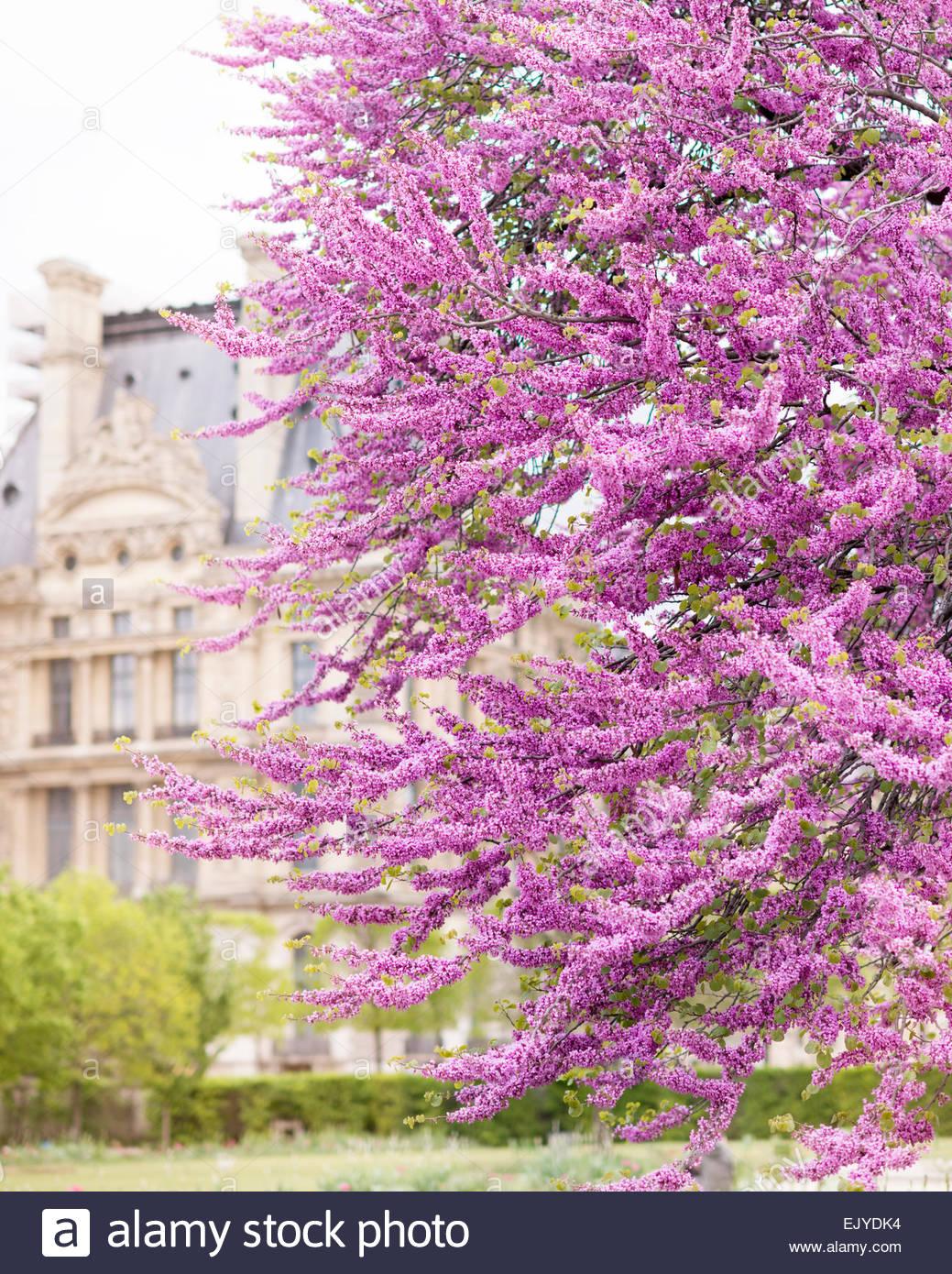 la floraison des arbres de criquets au printemps dans les jardins du louvre tuilieries avec en arriere plan paris france ejydk4