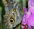 Le Jardin Des Papillons Beau Caligo Eurilochus Papillon Hibou Papillon Nymphalidae