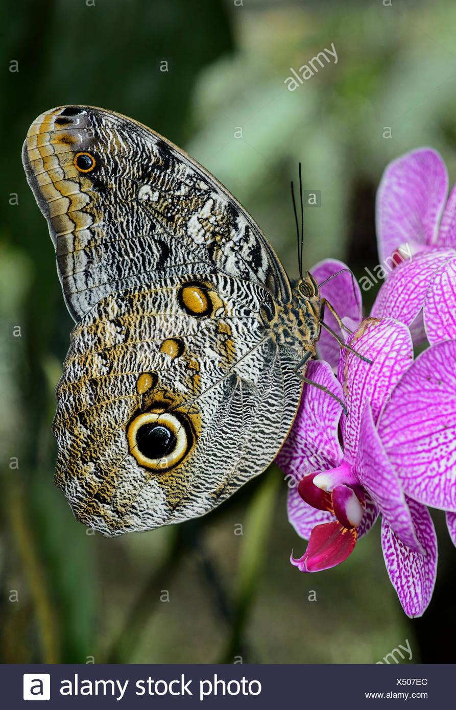 caligo eurilochus papillon hibou papillon nymphalidae le jardin des papillons de l hosteria mariposas de mindo l equateur x507ec