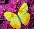 Le Jardin Des Papillons Beau Yellow butterfly Pink Azalea