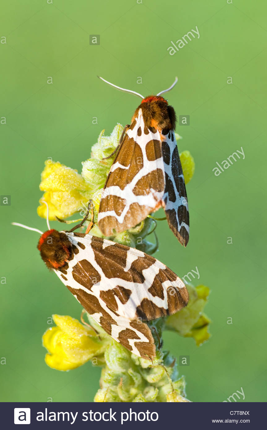 jardin des papillons europeens tiger moth arctia caja c7t8nx