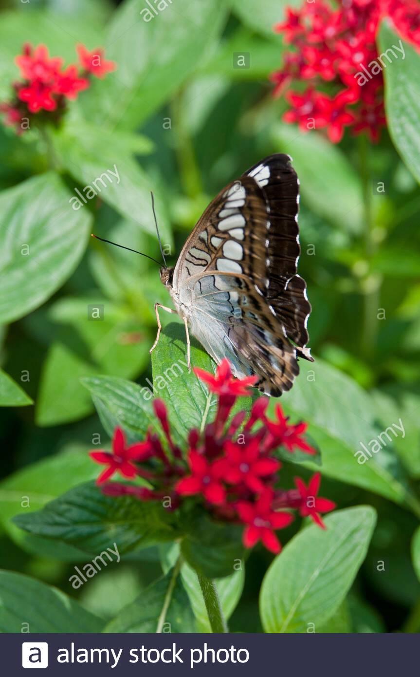 saint paul minnesota o park le jardin des papillons clipper bleu malaisien papillon parthenos sylvia famille des nymphalidae originaire d asie du sud et du 2afn7r5