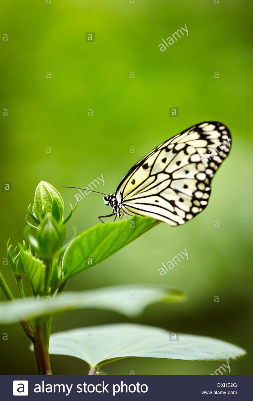 le cerf volant de papier papier de riz ou grand arbre nymphe idee leuconoe papillon le jardin des papillons hunawihr haut rhin lalsace france dxhe2g