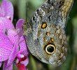 Le Jardin Des Papillons Nouveau Caligo Eurilochus Papillon Hibou Papillon Nymphalidae
