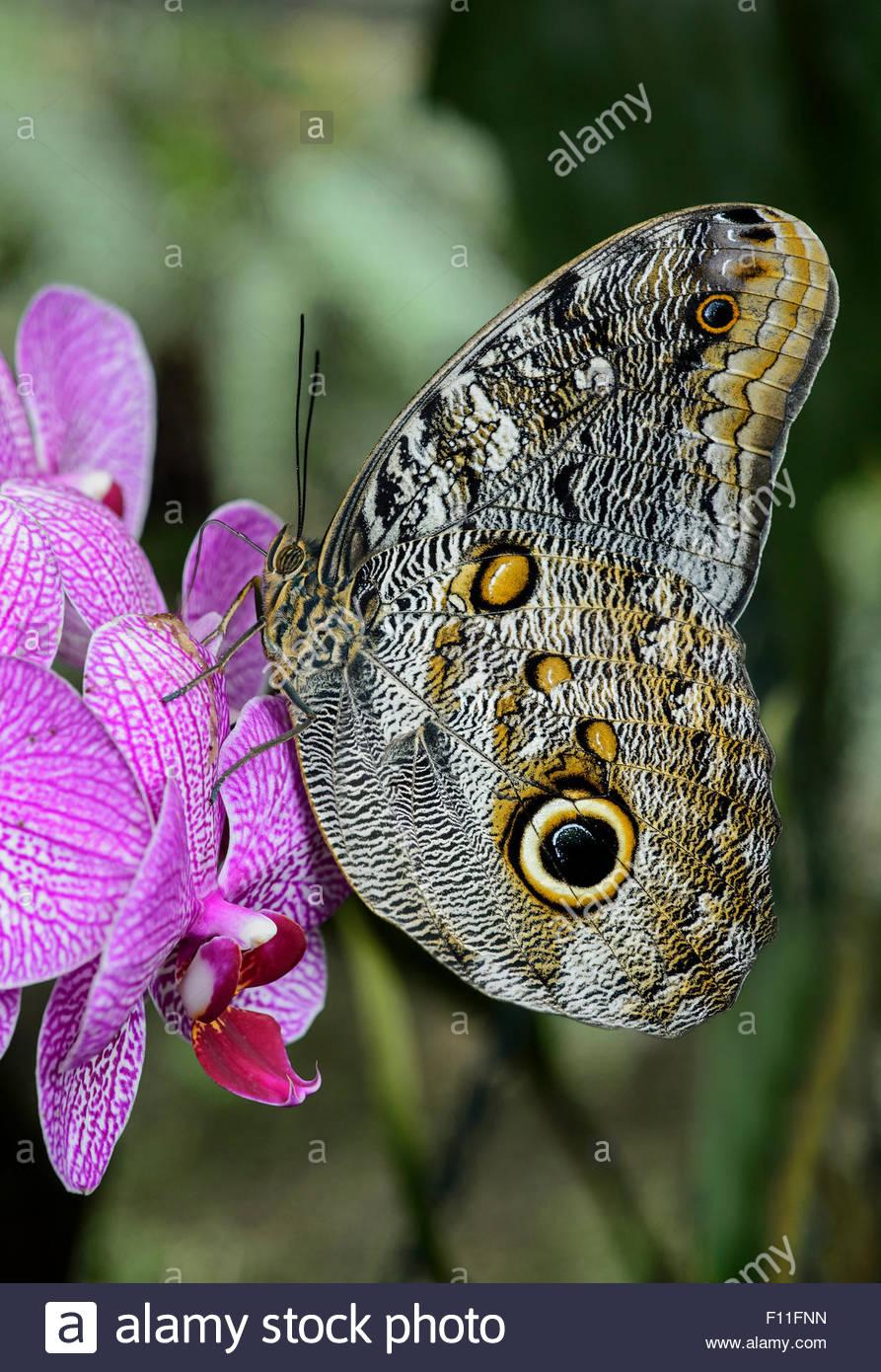 caligo eurilochus papillon hibou papillon nymphalidae le jardin des papillons de l hosteria mariposas de mindo l equateur f11fnn