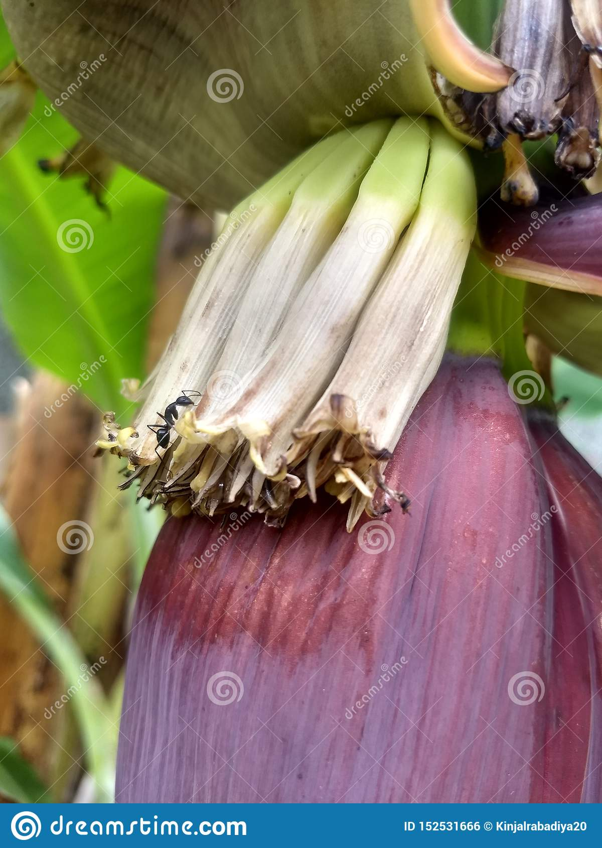 Lutter Contre Les Fourmis Au Jardin Charmant Fourmi Noire Mangeant La Fleur De Banane De Bébé Dans Mon