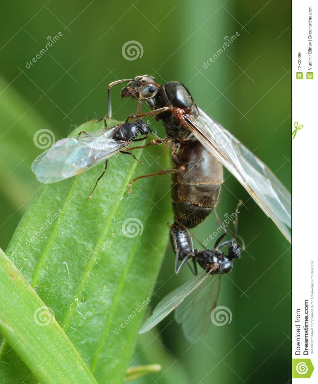 l appareillement d une fourmi noire de jardin