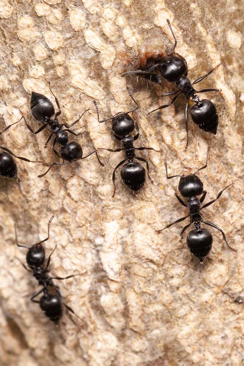 Ants on a Wood Surface