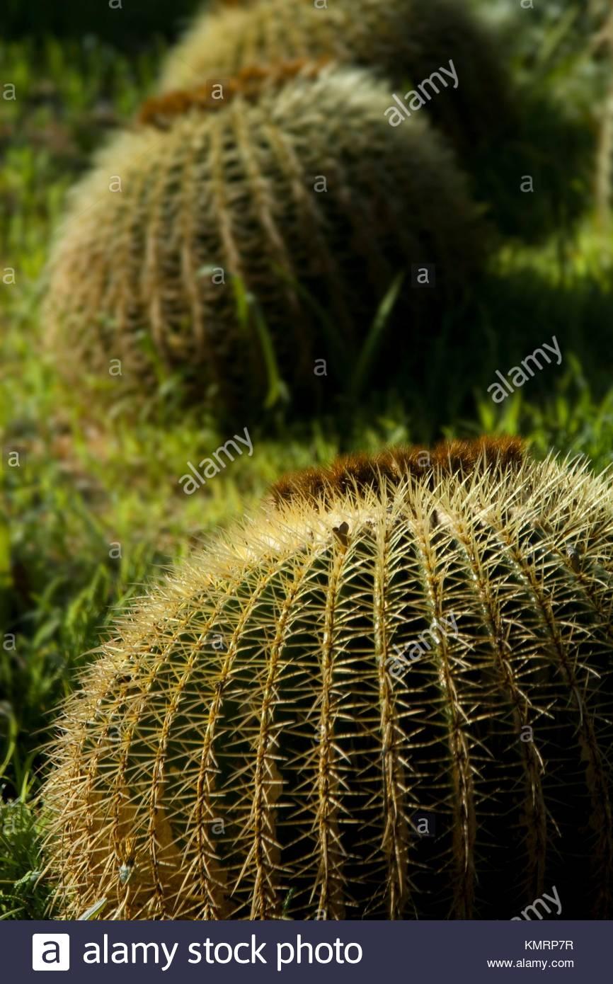 cactceas echinocactus del jardn subtropical jardin botnico mar i murtra KMRP7R
